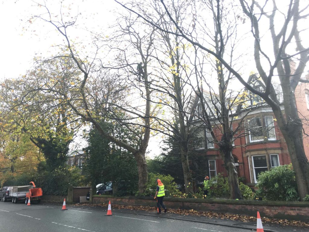 Tree Surgeon Crown lifting Service 2