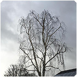 Tree Surgeon Tree Surgeon Crown Reduction Service