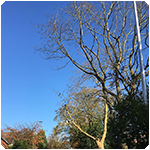 Tree Surgeon Tree Surgeon Crown lifting Service