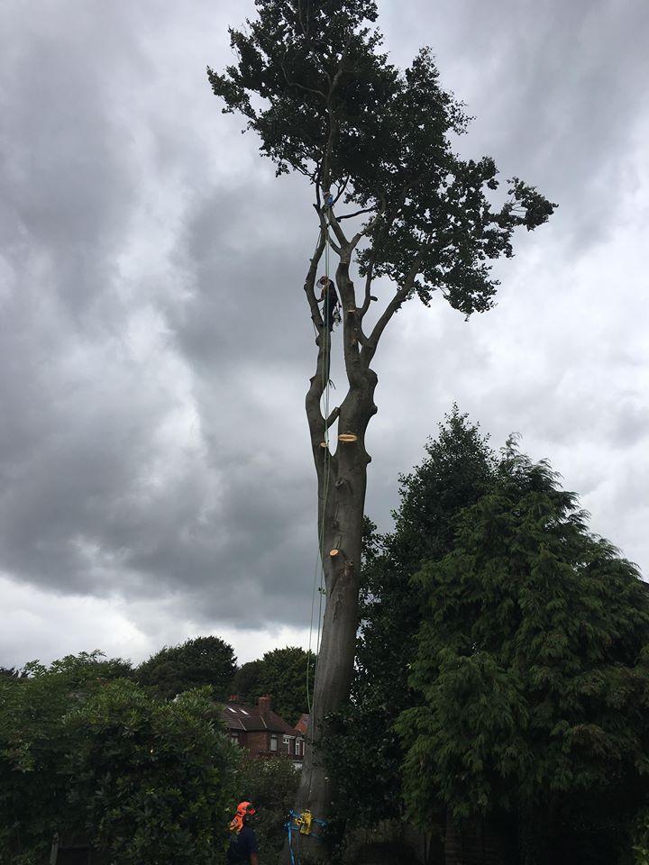 Tree Surgeon Dismantling Service 3
